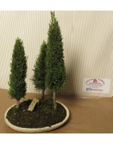 BOSCHETTO CUPRESSUS BONSAI