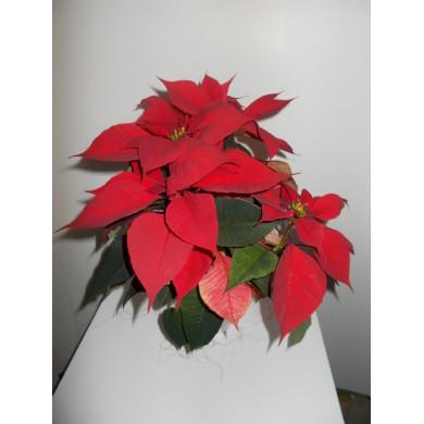 Stella Di Natale In Casa.Stella Di Natale In Caso Ceramica Grigio