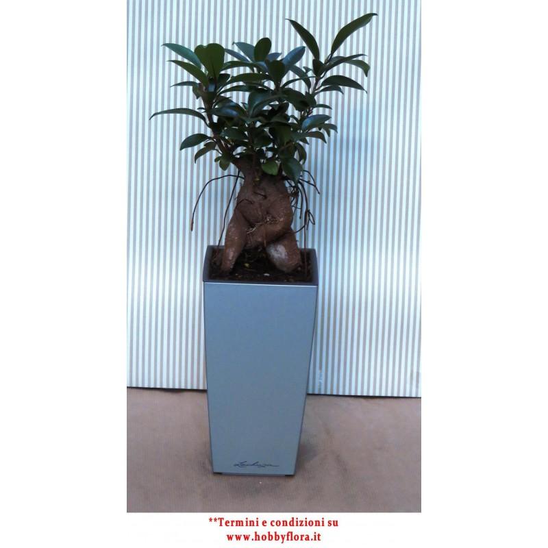 BONSAI FICUS GINSENG IN VASO LECHUZA - Hobby Flora