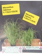 Miscanthus Zebrinus ht 110 cm