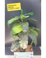 Dieffenbachia artificiale ht 130 cm