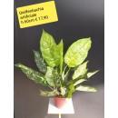 Dieffenbachia artificiale ht 60 cm